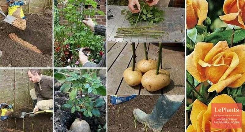 Как вырастить розу из черенка