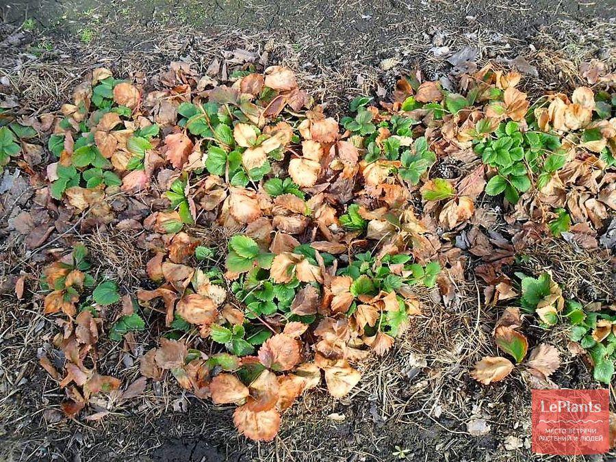 обработка клубники ранней весной