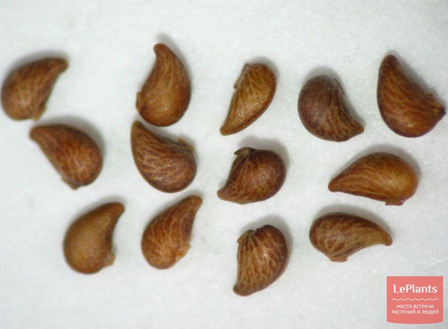 Семена Лапчатки