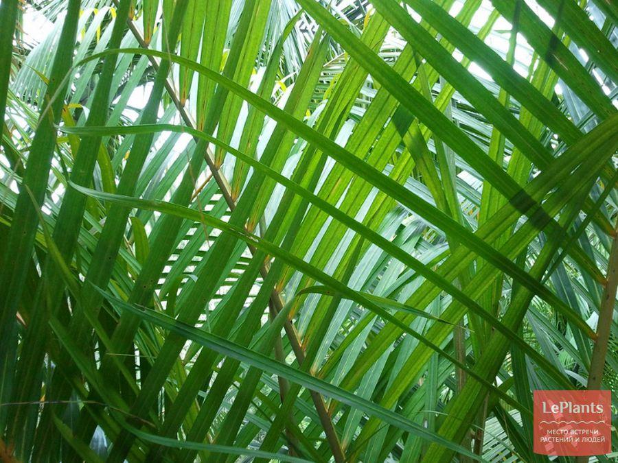 Листья Дипсиса желтоватого