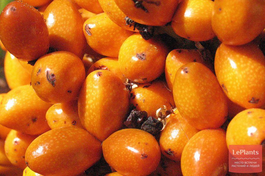 Хамеропс приземистый плоды