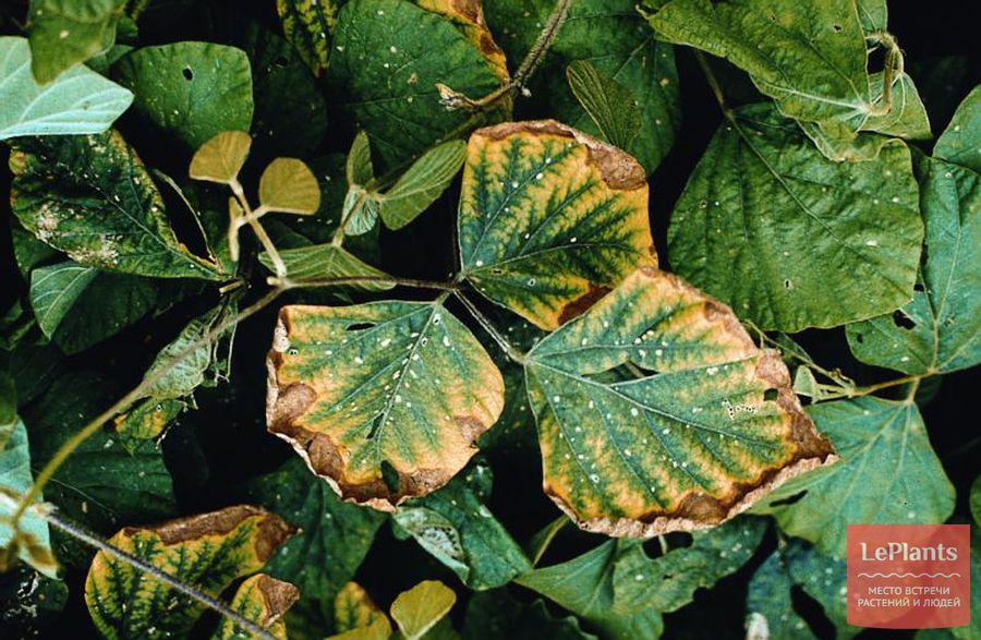 недостаток фосфора сркученность и усыхание листьев