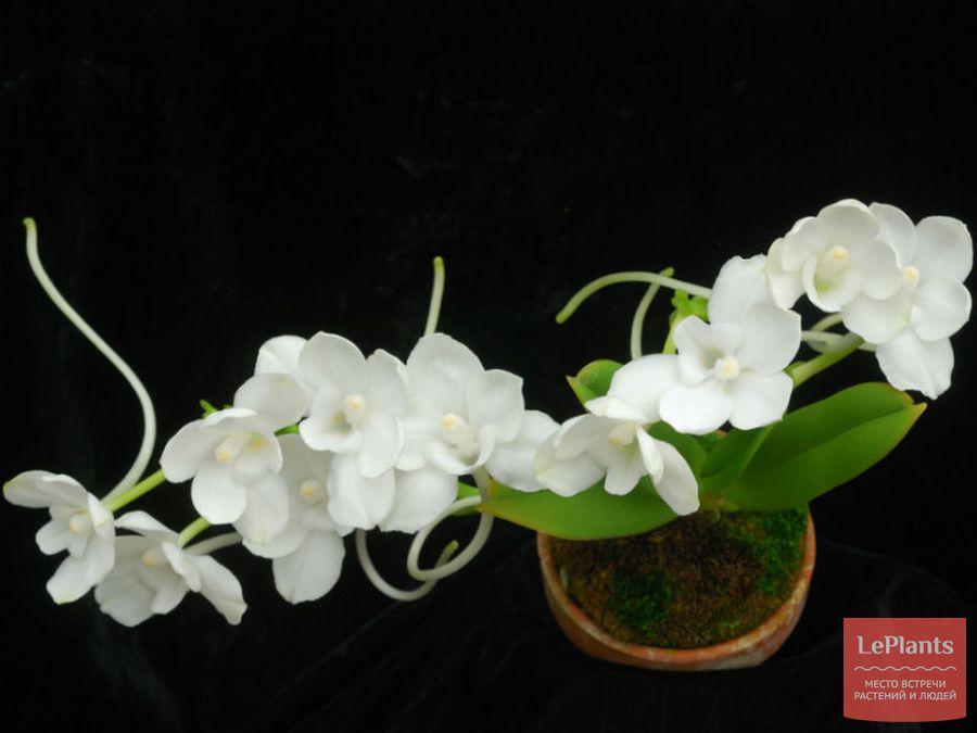Цветы Амезиеллы