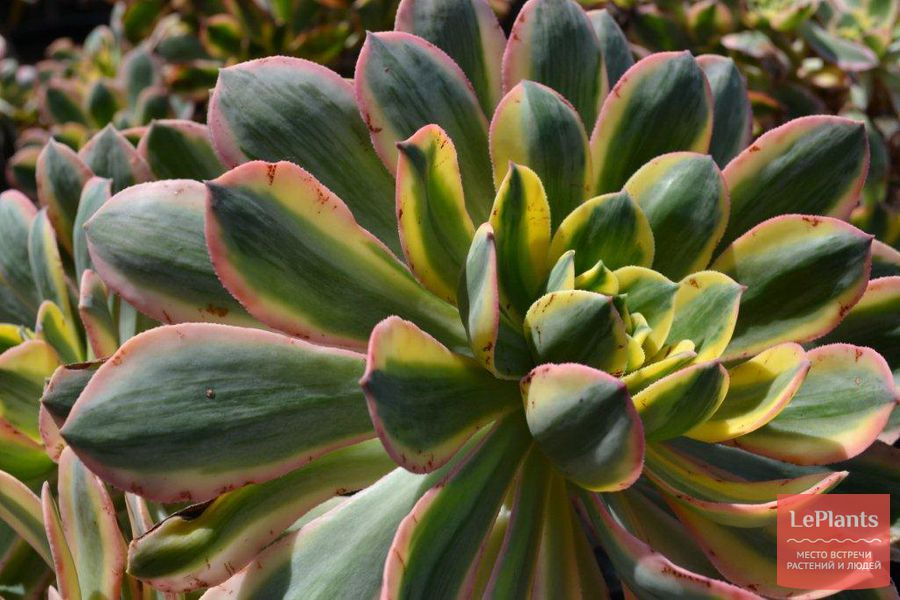 особенности выращивания сортовых эониумов