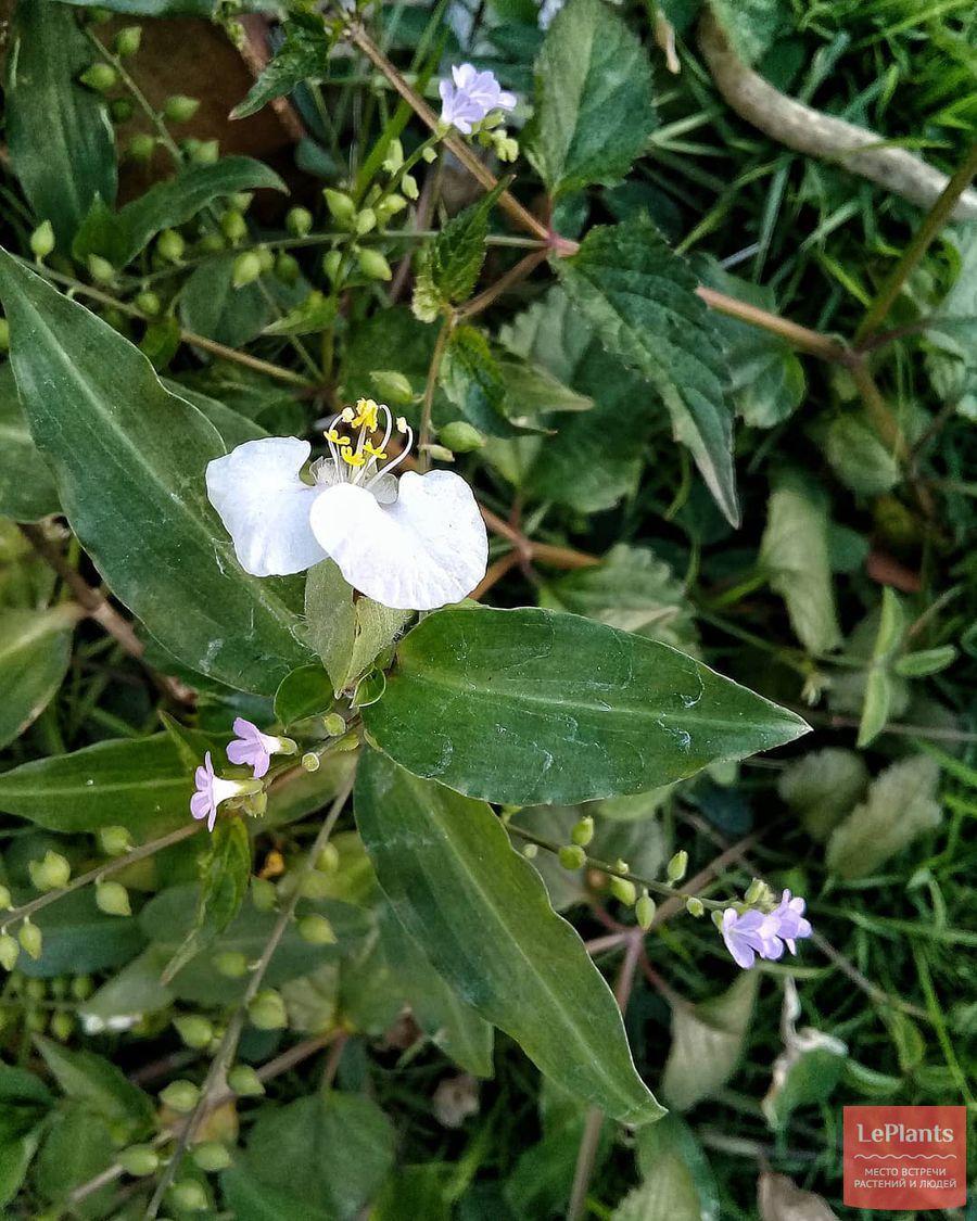 выращивание традесканции белоцветковой