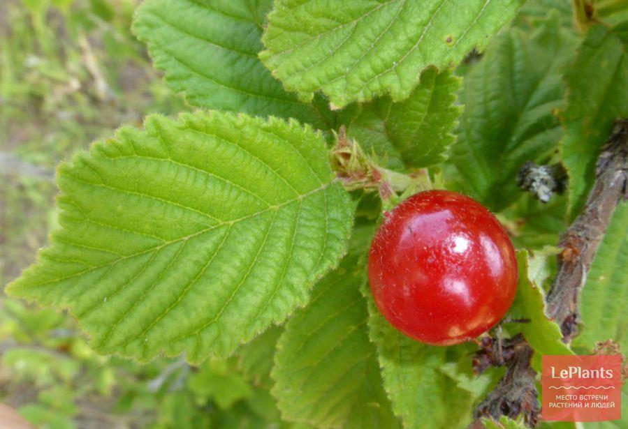 лист вишни войлочной