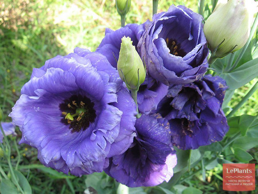 эустома цветок