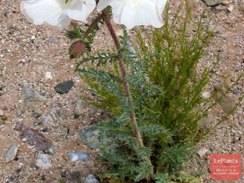 Аргемона – колючая красавица в саду