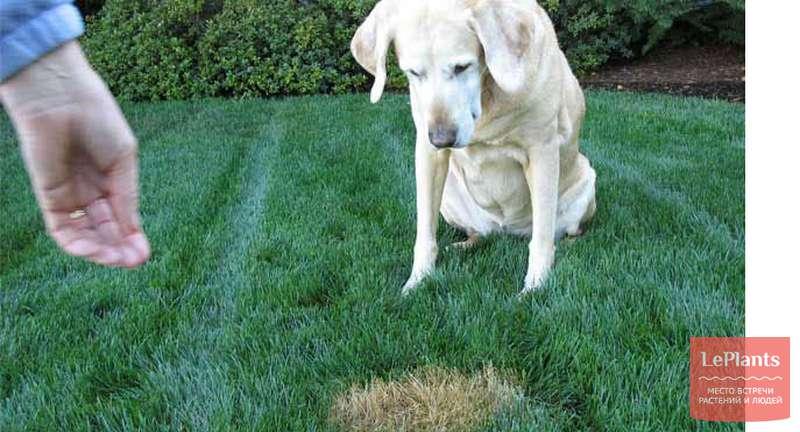Подсев газона: закрываем проплешины на газоне, защищаем от дырок в будущем