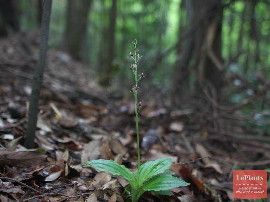 Липарис листья