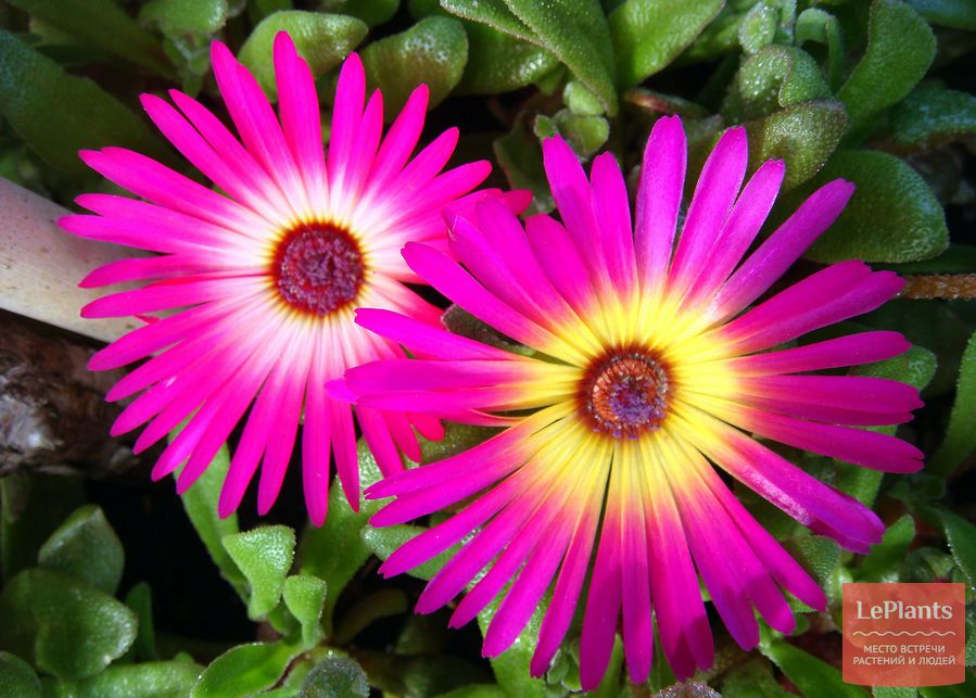 Цветки Доротеантуса