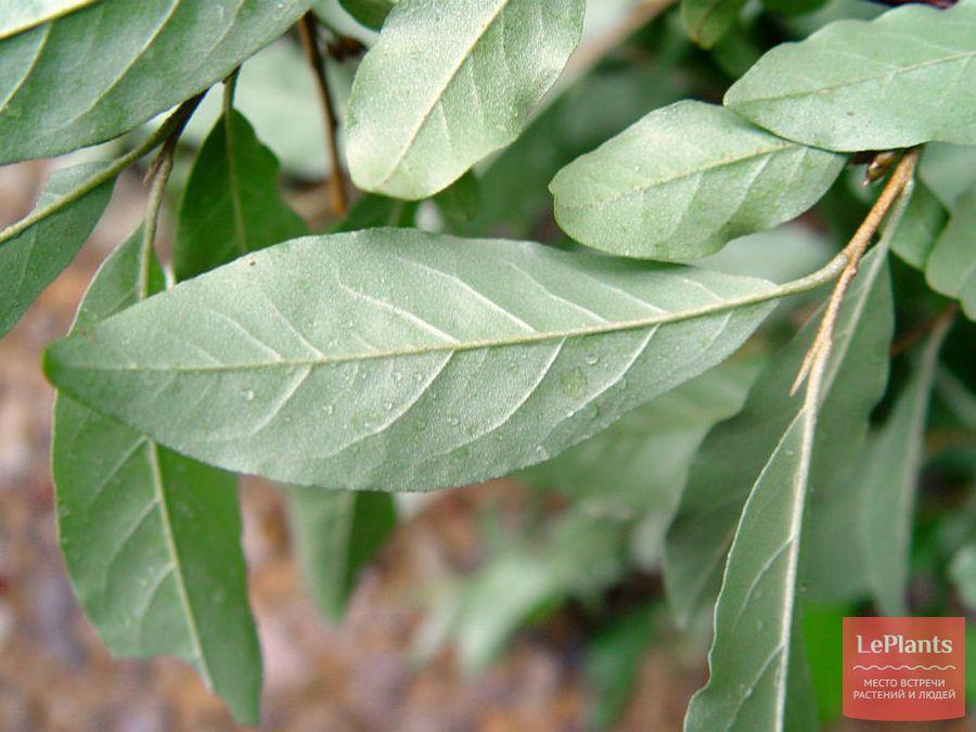 Листья Лоха