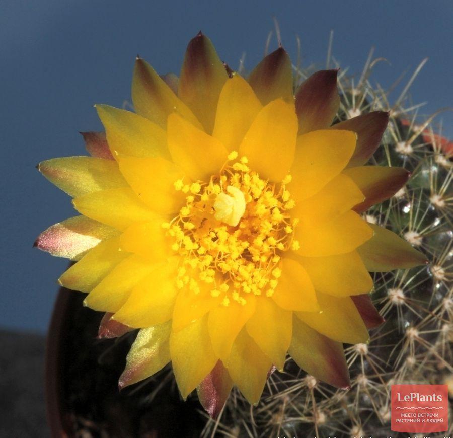 цветок Пародии алакрипортана