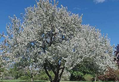 Яблоня хамардабанская