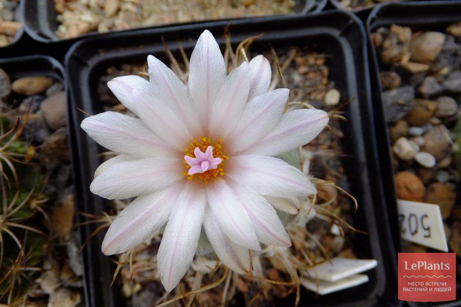 цветущий турбиникарпус