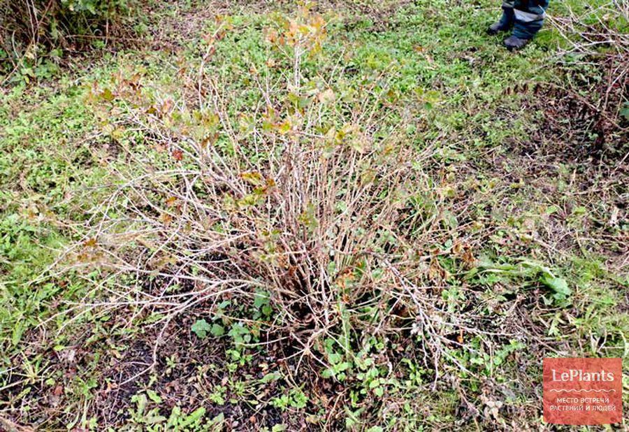 куст крыжовника после сезона вегетации