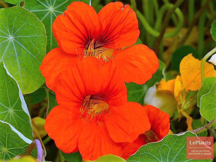 настурция большая — выращивание из семян