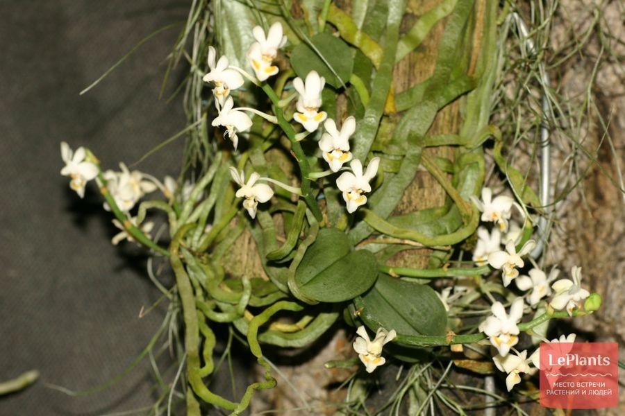 Фаленопсис горбатый