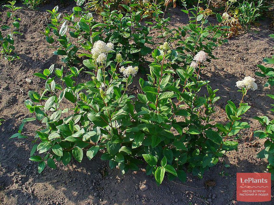 цеанотус — описание, выращивание, уход