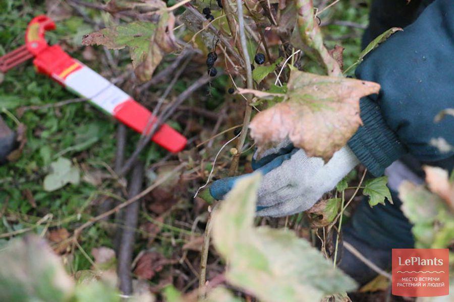 инструмент для обрезки смородины осенью