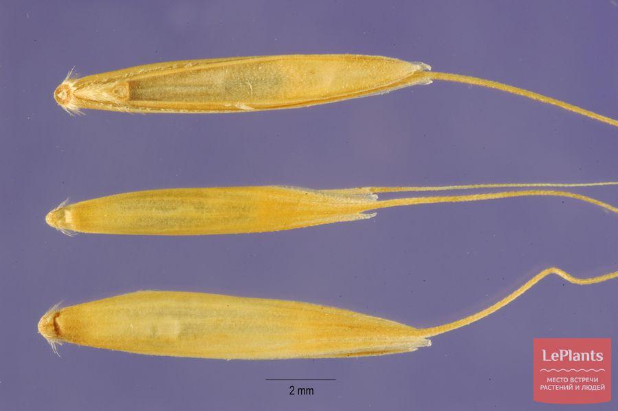 фото, описание, выращивание элимуса