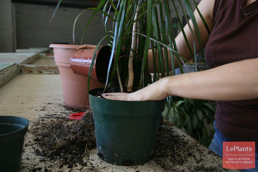 выращивание и пересадка драцены окаймленной