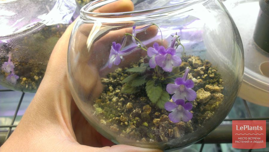 выращивание синнингии без почвы