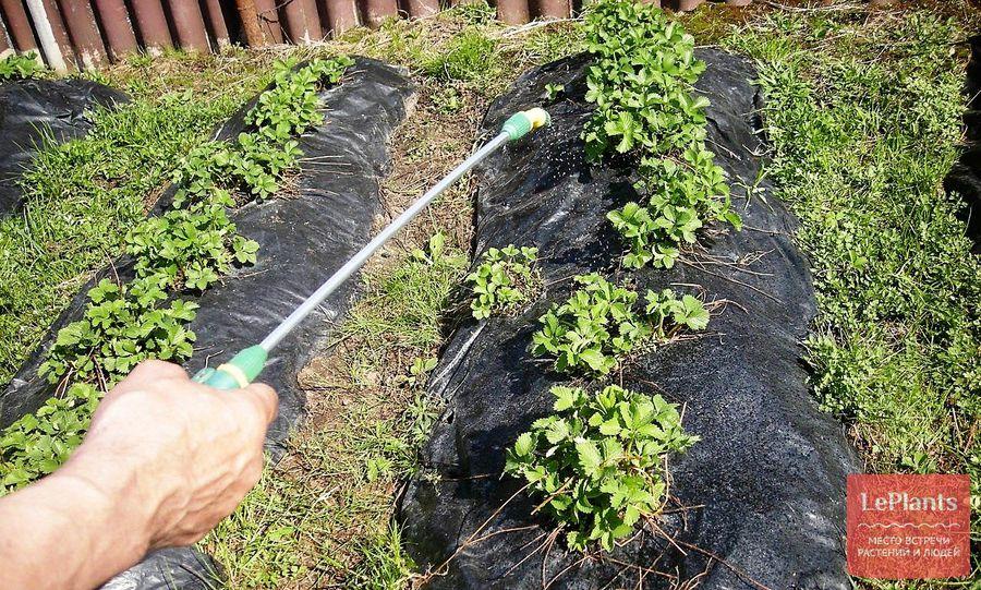 обработка клубники весной от вредителей