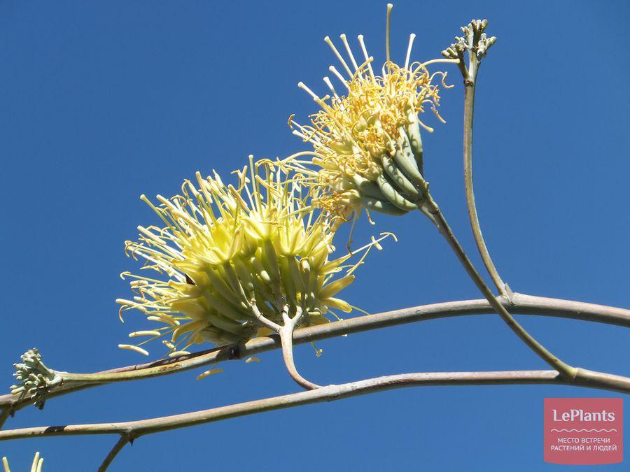 Соцветие Агавы восковой