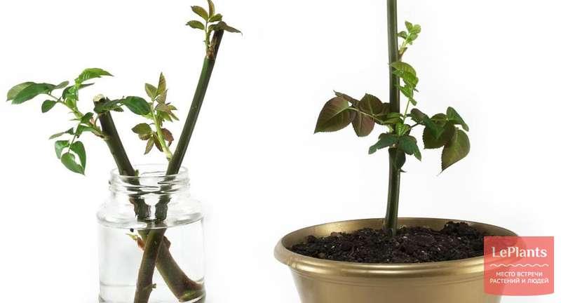 Растения из черенка — основные правила и секреты