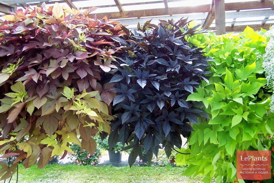 листья ипомеи батат