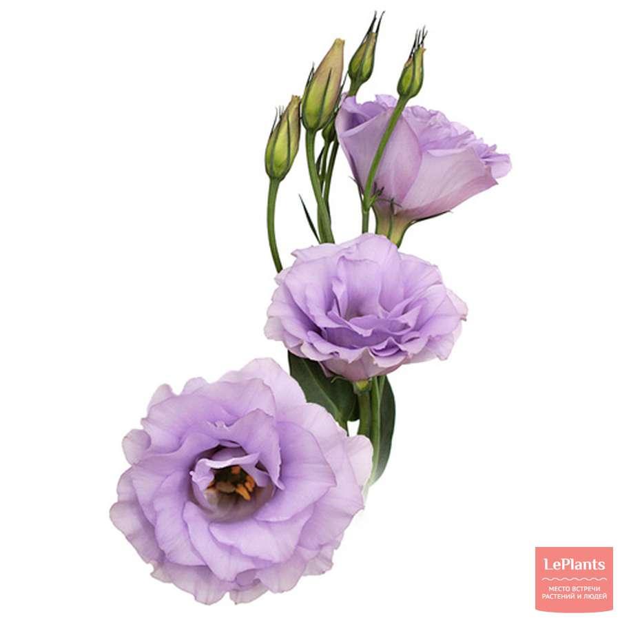 Название цветков с описанием