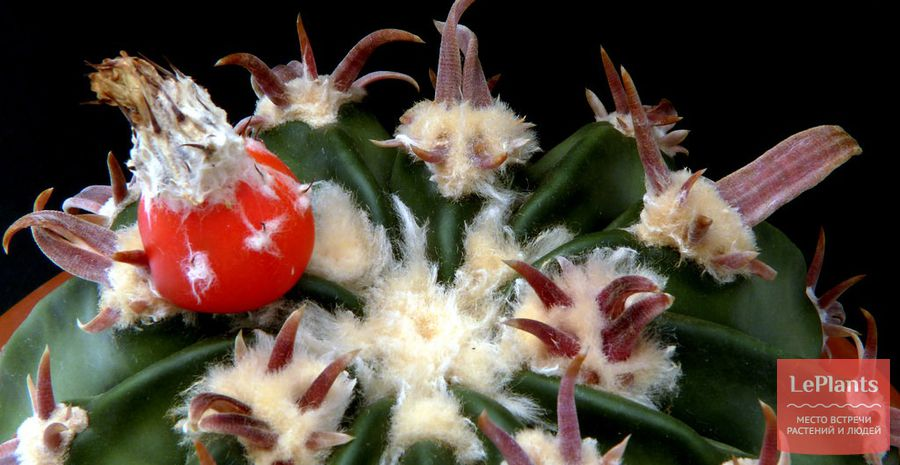 Эхинокактус техасский плоды