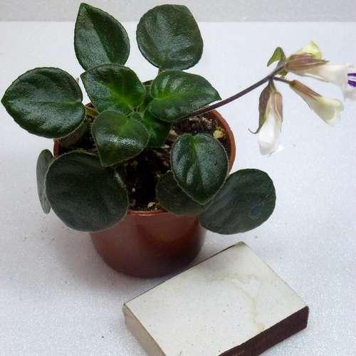 Примулина ( Хирита) Primulina Tamiana