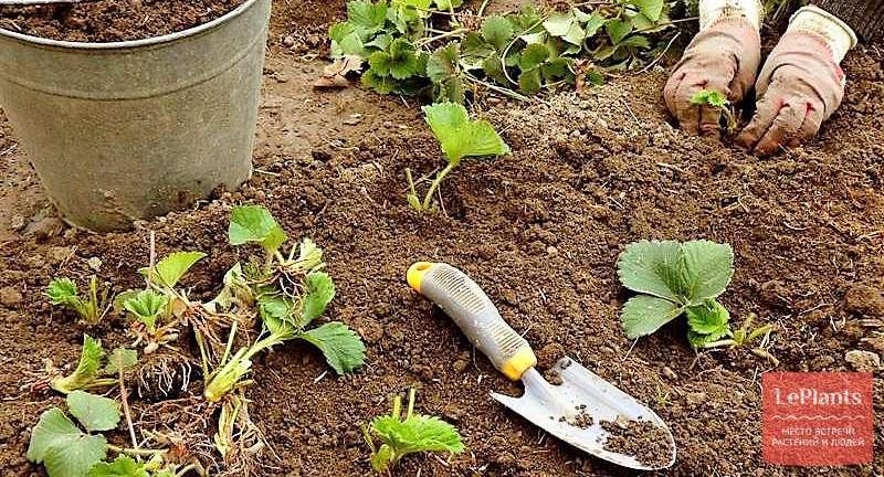 Весенняя посадка клубники — рекомендации опытных огородников