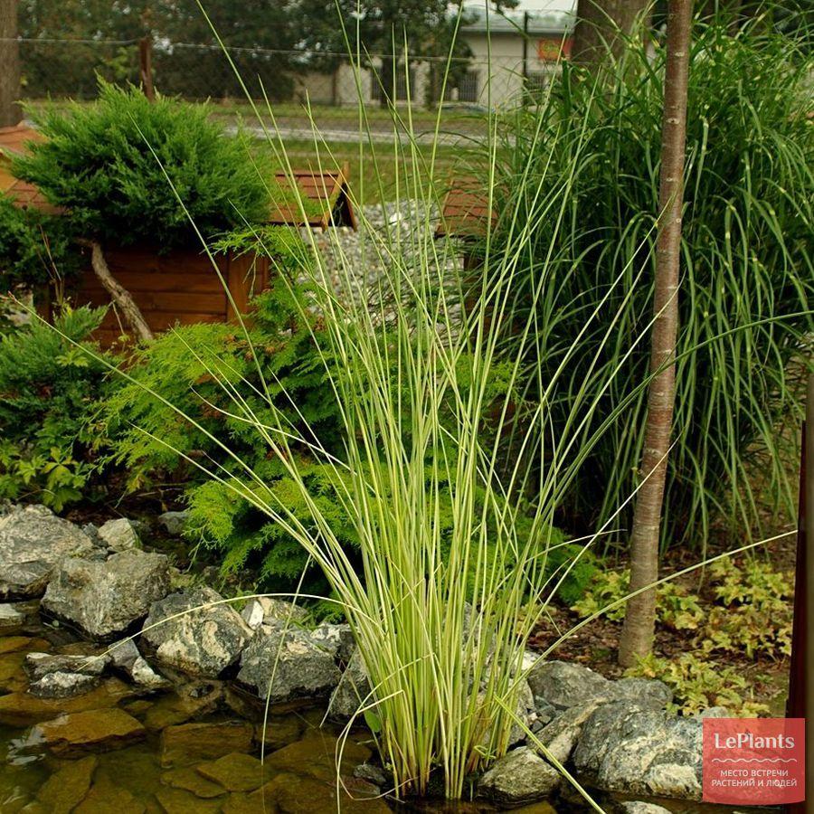 выращивание схеноплектуса в садовом пруду