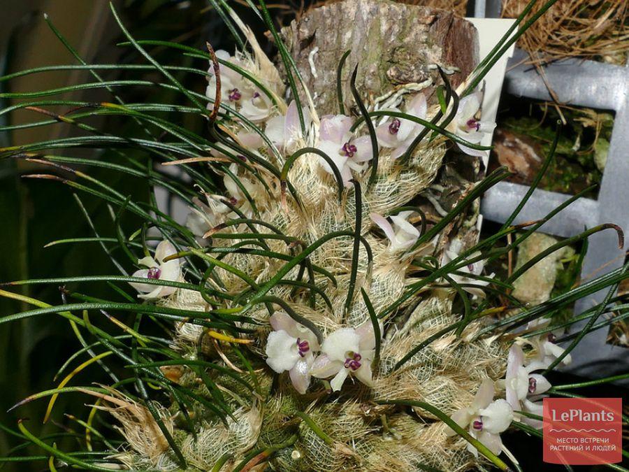 Изабелия девственная (I. virginalis)