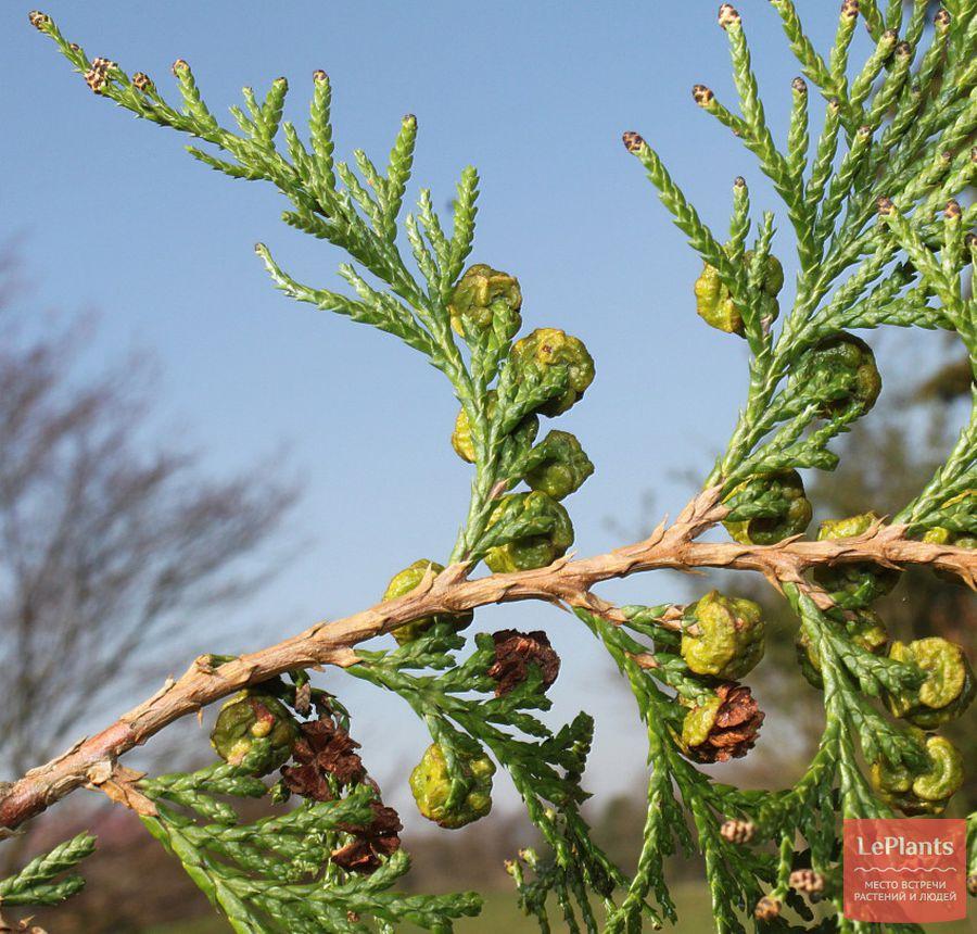 выращивание декоративных кипарисовиков горохоплодных