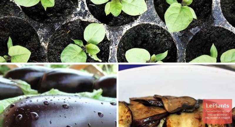 Сажаем и выращиваем рассаду баклажан для хорошего урожая