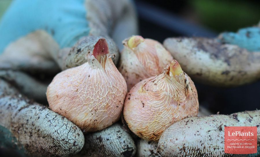молодые ювенильные луковицы гладиолусов как садить