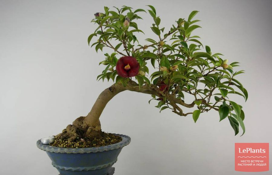 Камелия японская бонсай