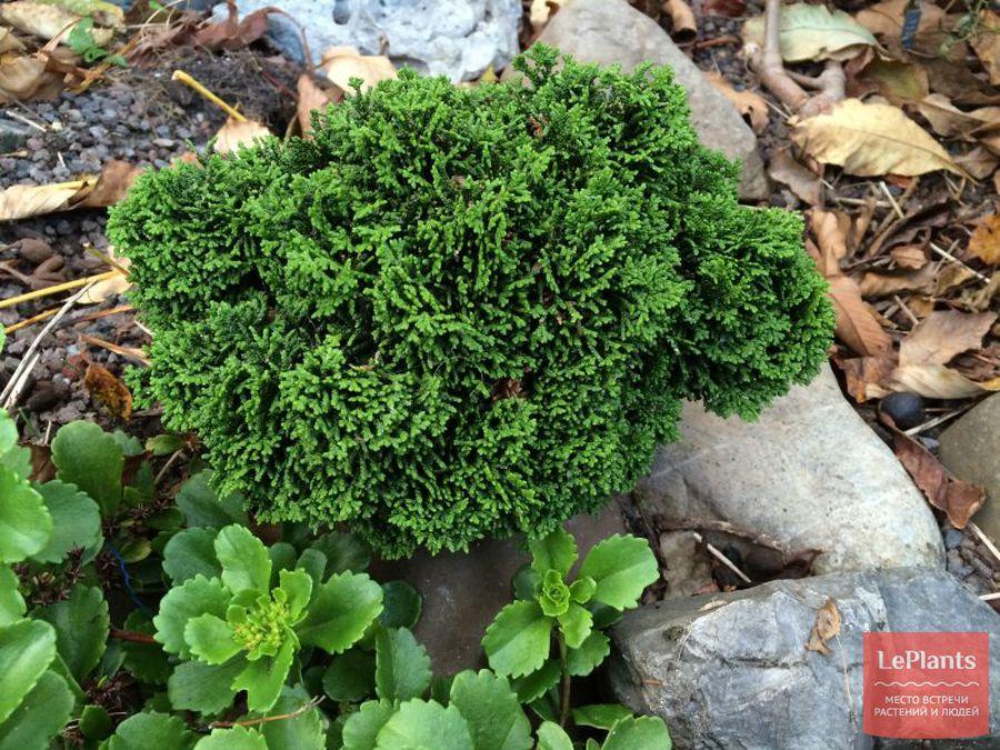 как выращивать кипарисовик туполистный в альпинарии