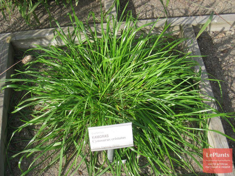 газонная трава Гребенник обыкновенный