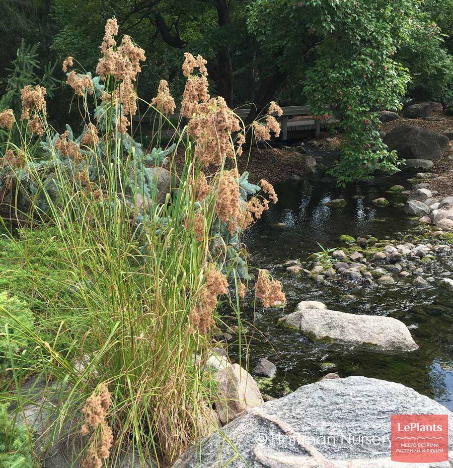 выращивание камыша на берегу водоема