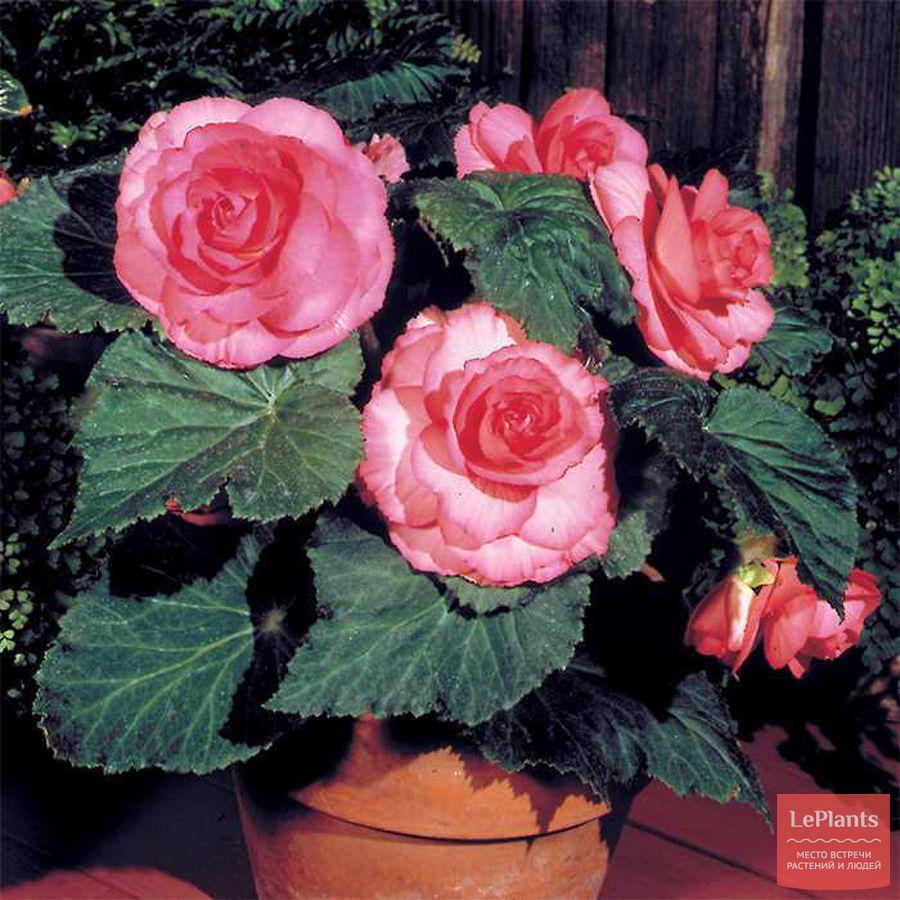 выращивание похожих на розы бегоний