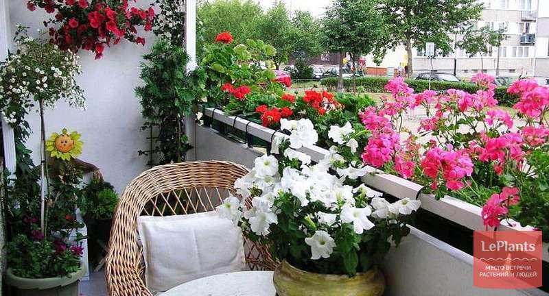Секреты выбора и посадки балконных цветов