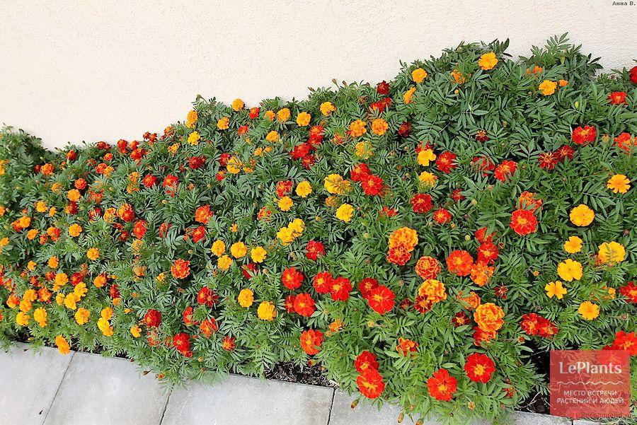 бархатцы отклоненные – выращивание из семян