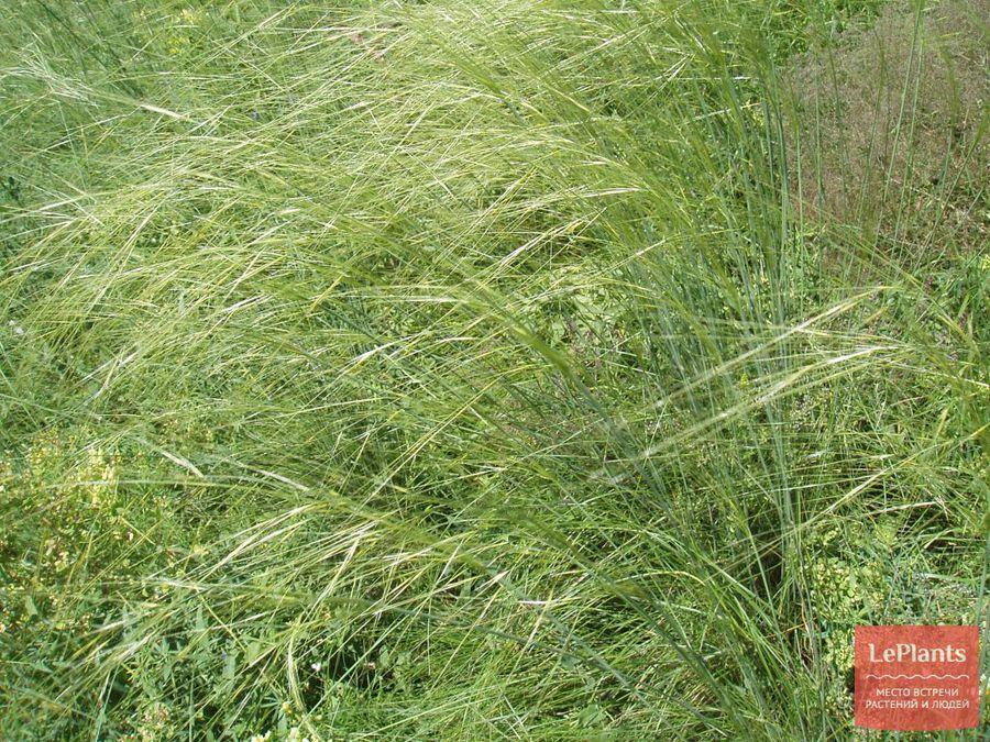 фото, описание, выращивание ковыля волосовидного