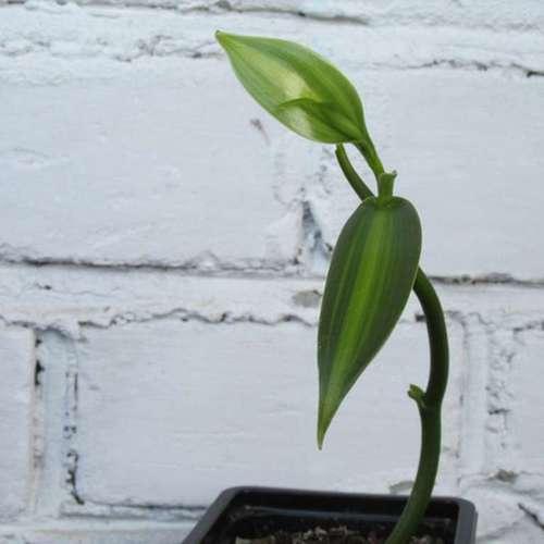 Ваниль плосколистная вариегатная (ванильная орхидея)