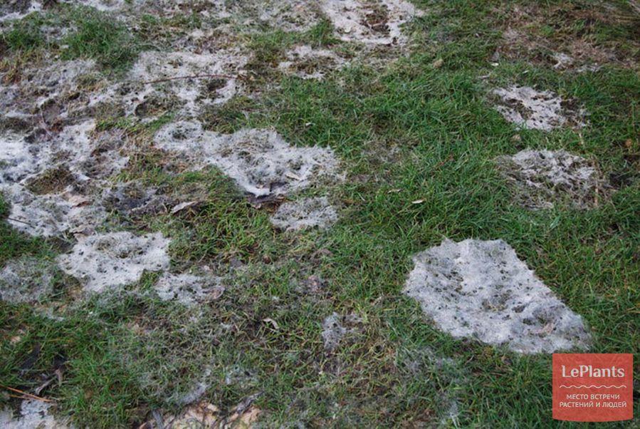 Как избавиться от грибов на газоне